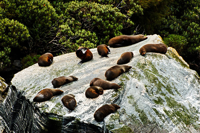 Seals at Milford Sound