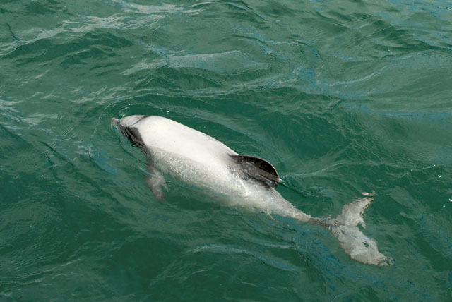 Hector dolphin in Marlborough Sound