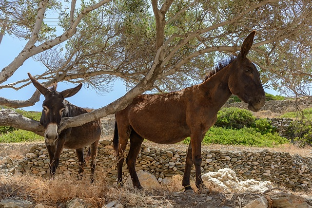 Donkeys cooling down in shade, Folegandros