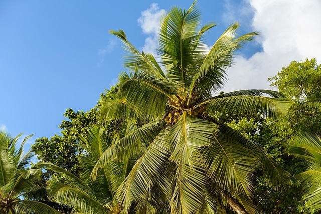 Palm at Baie Lazare, Mahe, Seychelles
