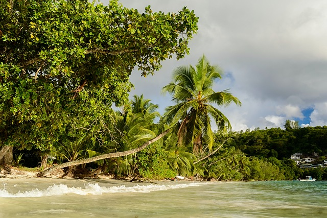 Leaning palm, Baie Lazare, Mahe, Seychelles