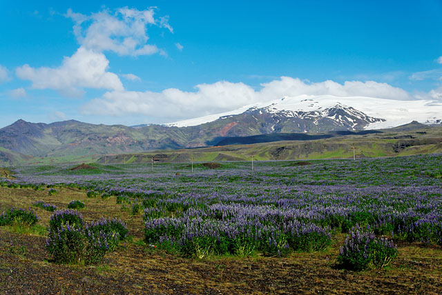 lupines_with_glacier